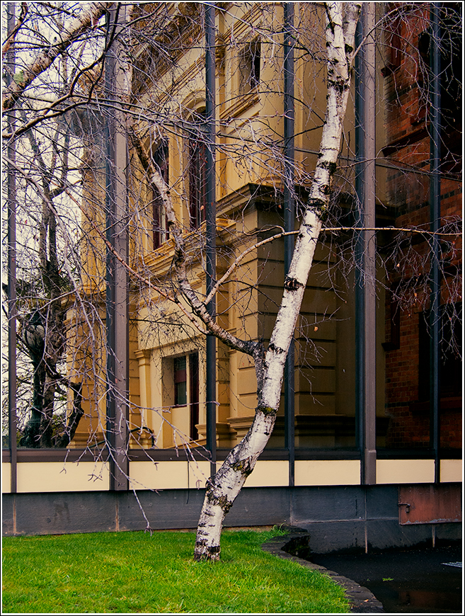 Reflections of the Albert Hall and a silver birch