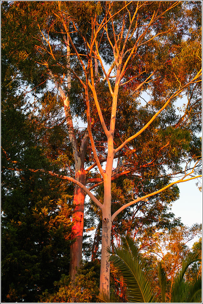 Ghost gums at sunset in Mahogany Creek