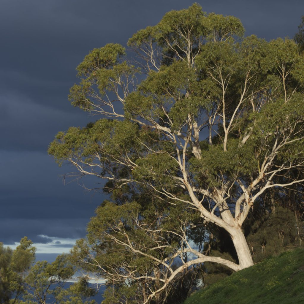 Ghost gum and a stormy sky