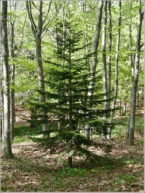 A-Fir-tree-grows.jpg