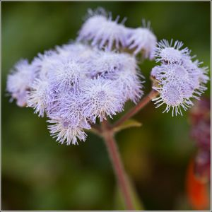 Ageratum-flower-head.jpg