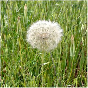 Dandelion-and-wild-oats.jpg