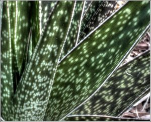 Dark-Green-Aloe.jpg