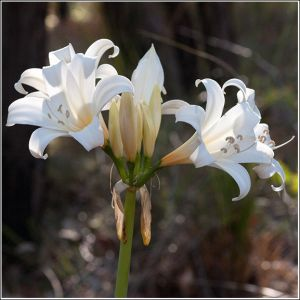 Easter-Lillies.jpg