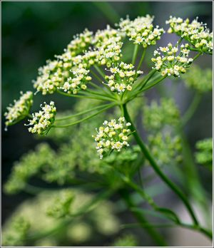 Italian-parsley-flower1.jpg