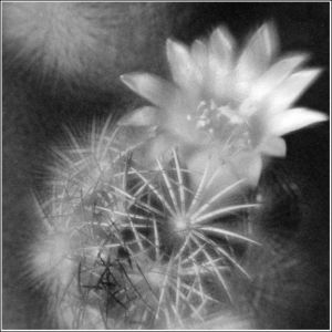 Night cactus-flower.jpg