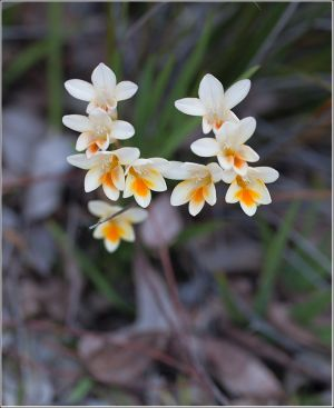 Orange-freesia-alba.jpg