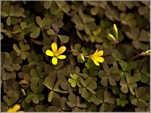 Oxalis-number-three.jpg
