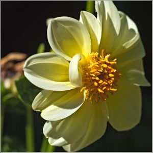 Pale-Yellow-Dalia.jpg