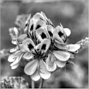 Pelargonium-in-mono.jpg