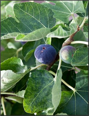 Purple-Fig.jpg