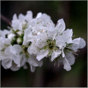 Shiro-Plum-Flower.jpg