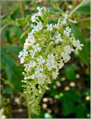 WhiteBuddleia.jpg
