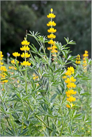 Yellow-Lupin.jpg