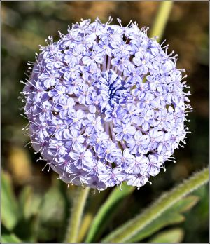 Blue-Lace-Flower.jpg