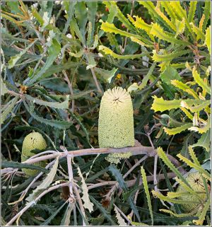 Shrub-like-banksia.jpg