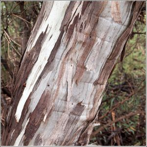 Stringy-Bark.jpg