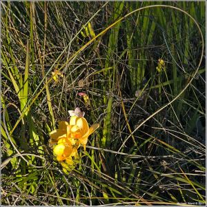 Yellow-Freesia.jpg