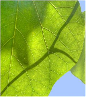 Two-leaves.jpg