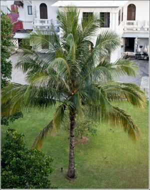 Cocos=palm-in-Singapore.jpg