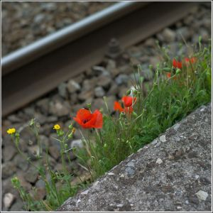 Railway-poppies.jpg
