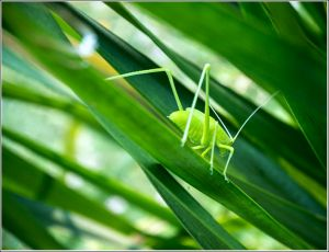 Grass-hopper-green.jpg